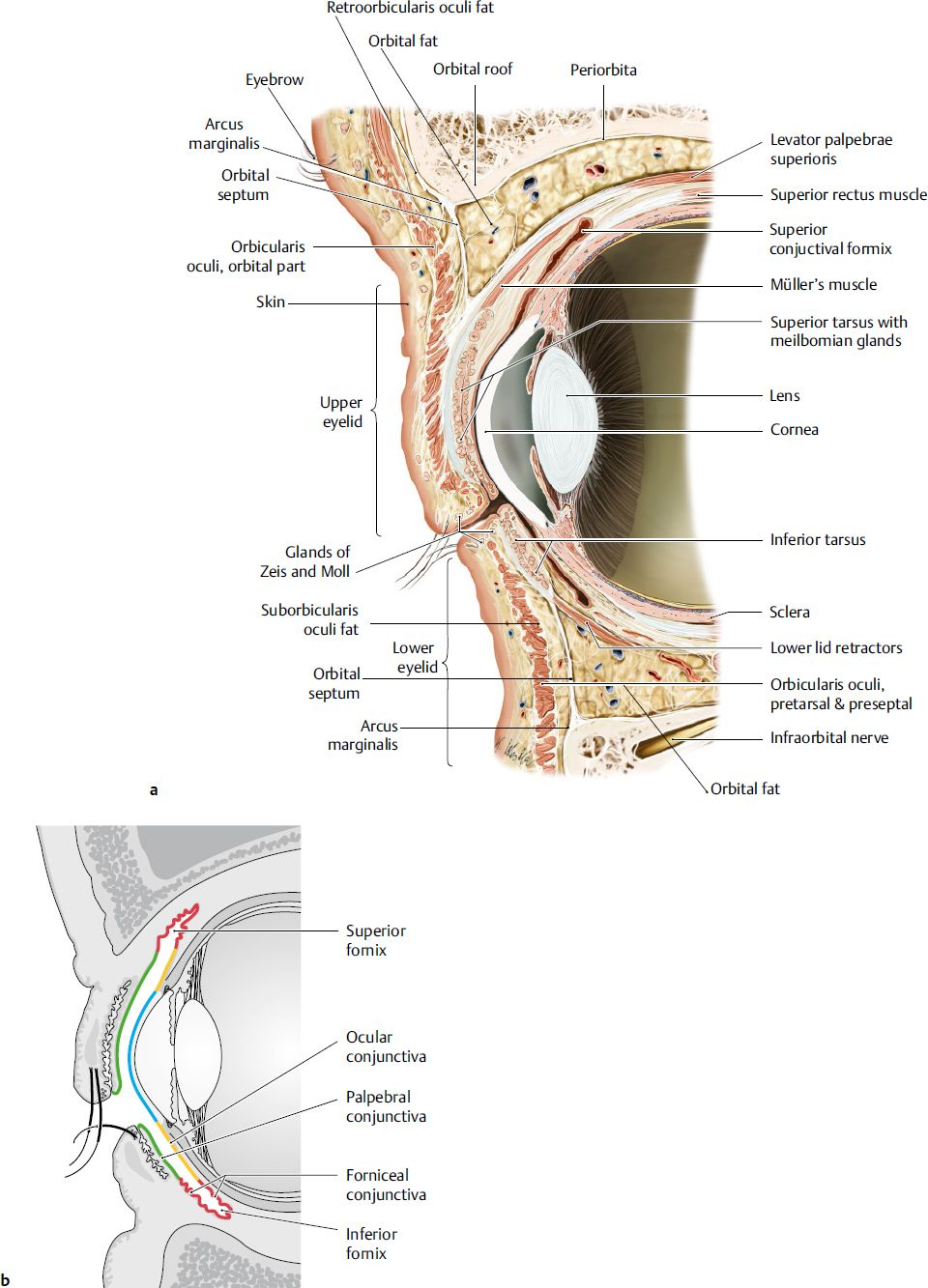 Pin by Lisa Cohen on Eye Anatomy | Pinterest | Eyelid surgery ...