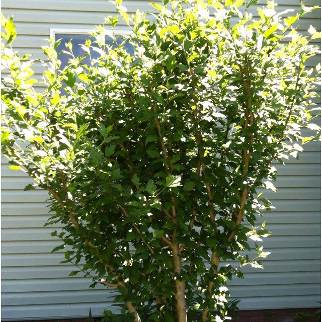 My rose of Sharon tree