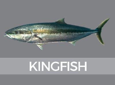 Kingfish Species Id Species Fish Logo Fish