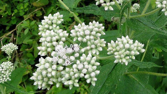 Boneset Side Effects And Health Benefits Herbs Medicinal