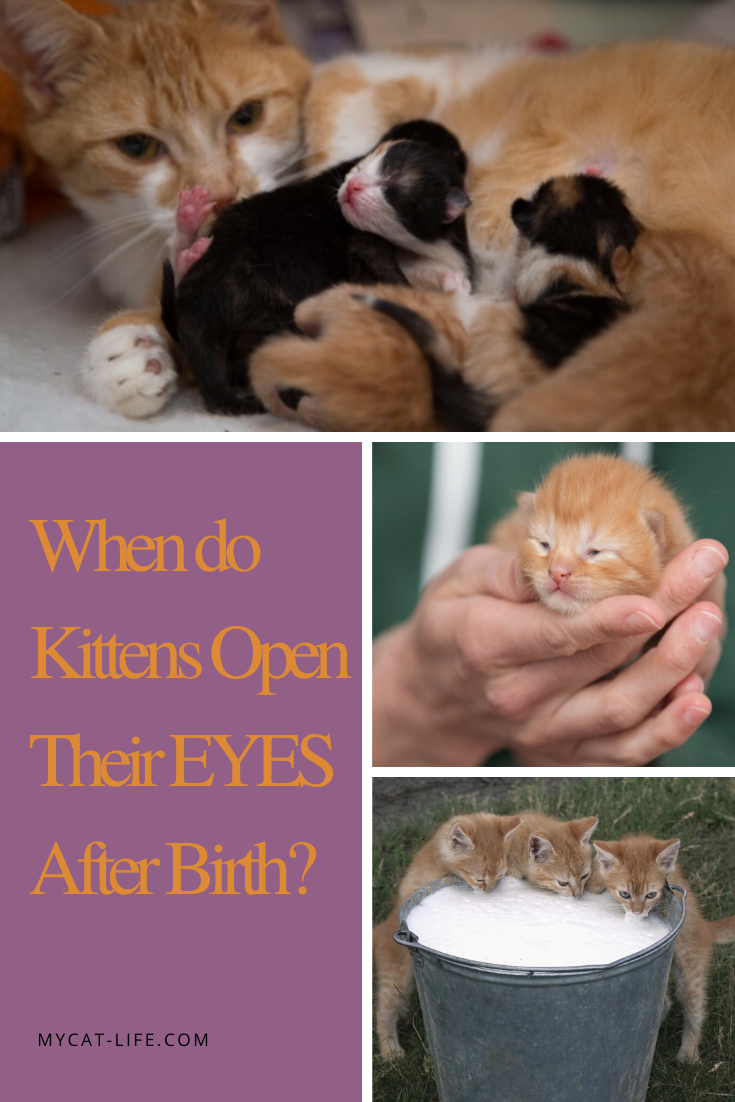 When Do Kittens Open Their Eyes After Birth Cats Kittens Pets Chat Chaton Et Mignon