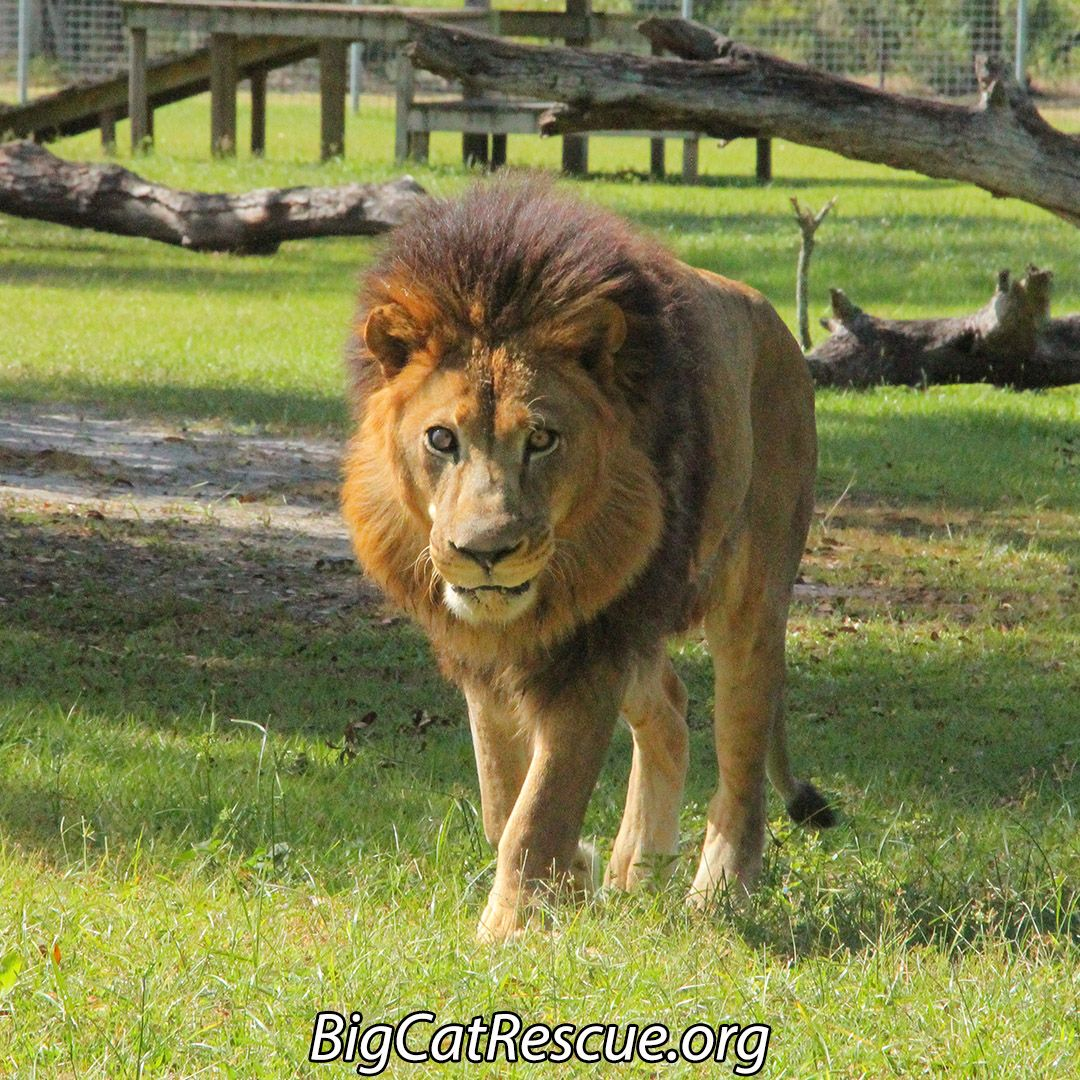 Joseph Is Roaring To Share Some Huge Exciting News With You All Last Summer Big Cat Rescue Asked All Of You To Sign Our Pet Big Cat Rescue Big Cats Pet