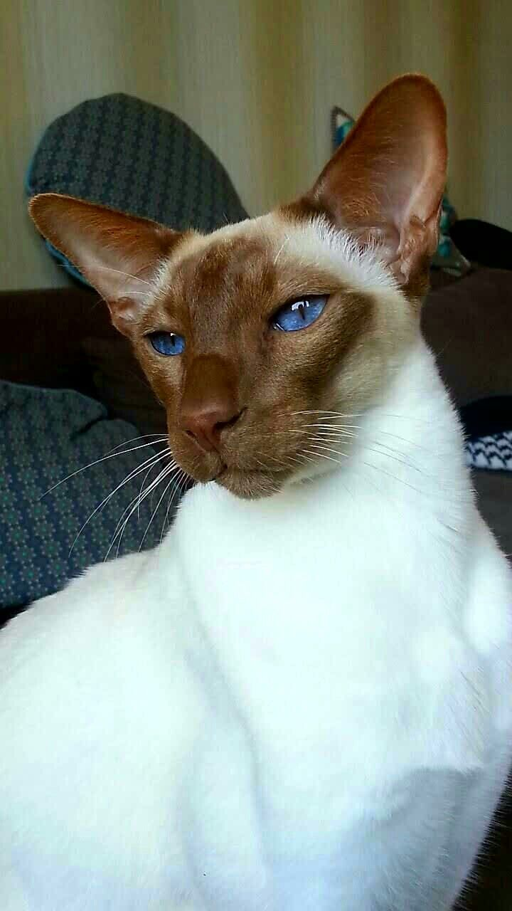 Pin By Jaimy Smith On Seychellois Oriental Cat Oriental Shorthair Cats Pretty Cats Siamese Cats
