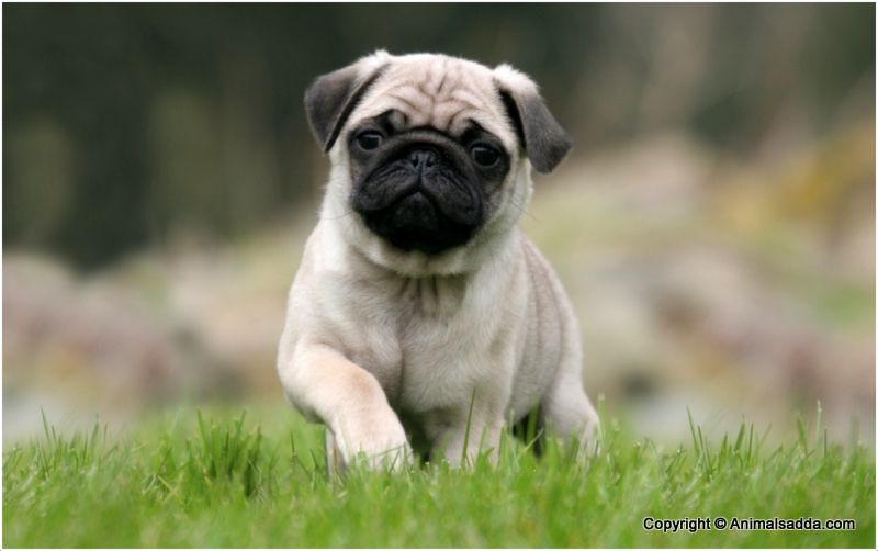 Pug Dog Pictures Puppies Facts Temperament Information