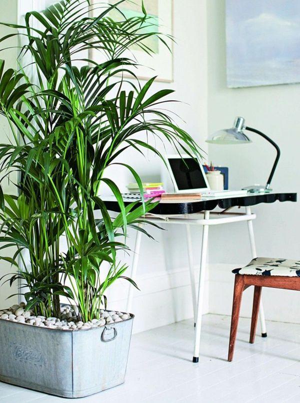 kentiapalme zimmerpflanzen wenig licht howea forsteriana