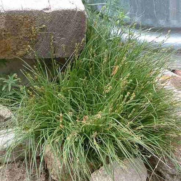 Clustered Field Sedge - Carex praegracilis CA native sedge 25 - carex bronze reflection
