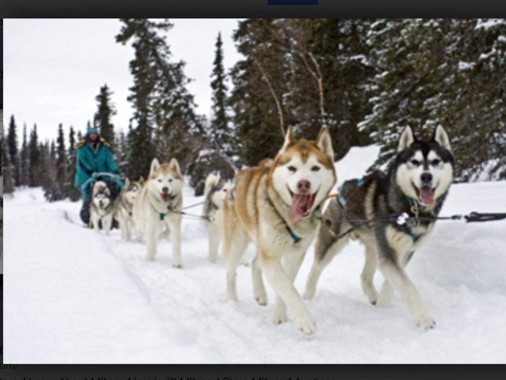 Iditarod Dog Sledding Iditarod Husky
