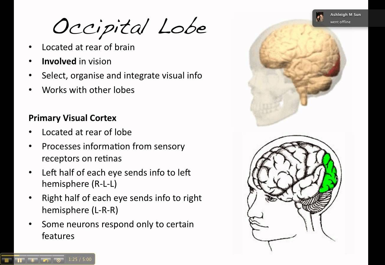 Occipital Lobe Processes Visual Infor From Eyes In