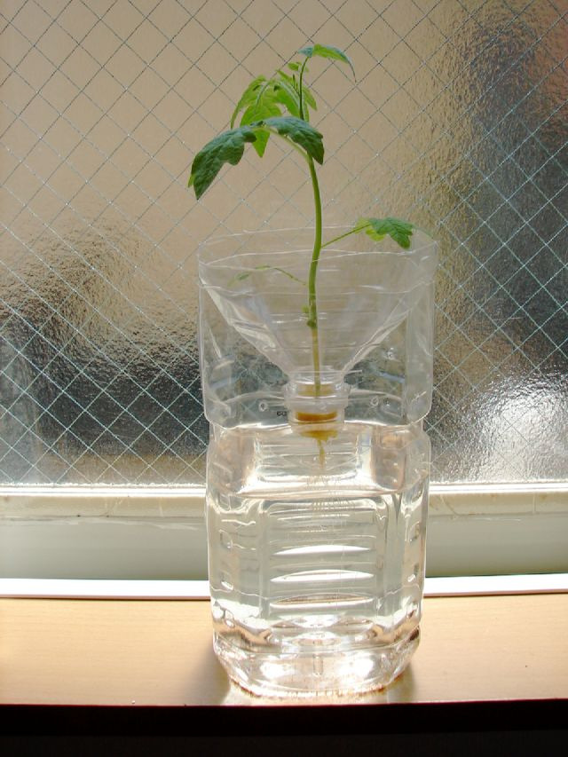 PET bottle-hydroponic tomato culture