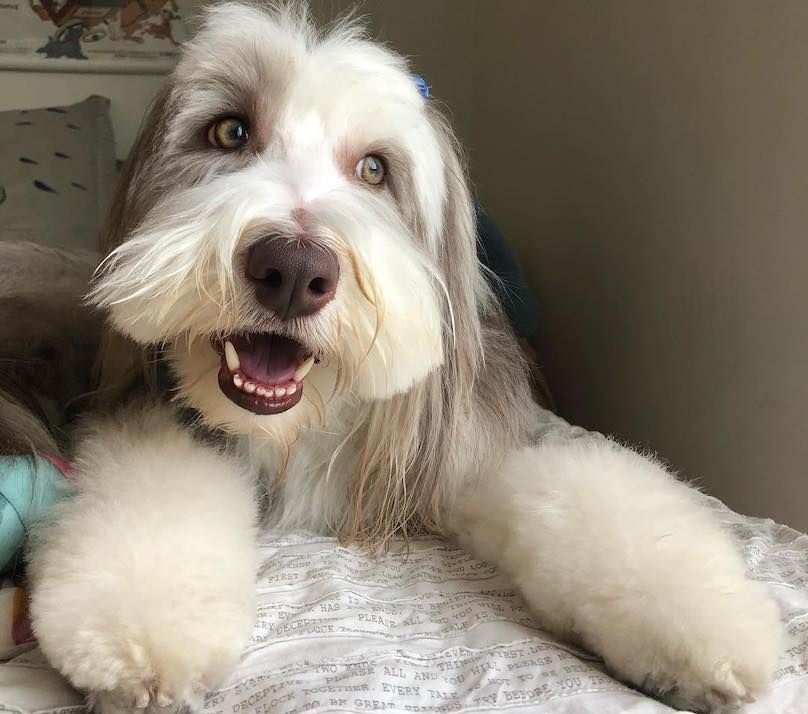 Bearded Collie Breed Information Guide Quirks Pictures