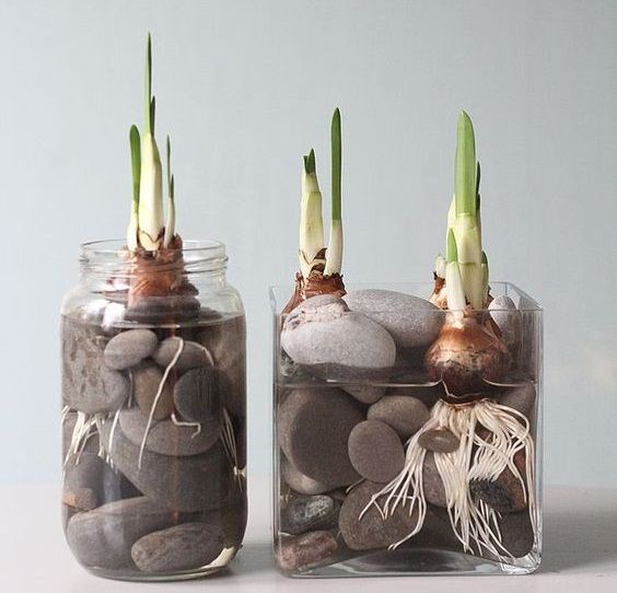 Toprak kullanmadan lale ve sümbül nasıl yetiştirilir? | Çevreci Bahçem #jardineríaenmacetas