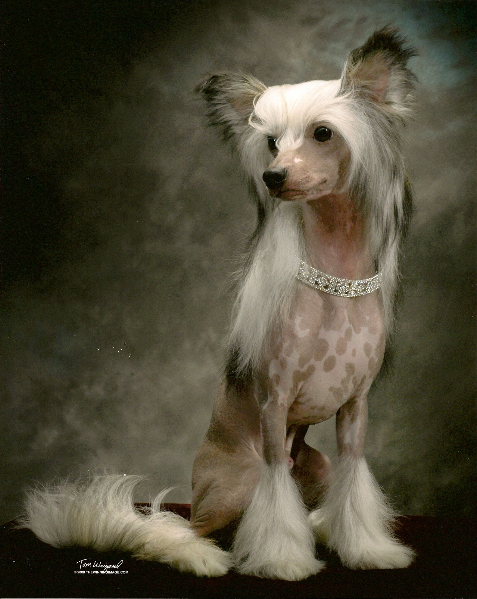 Sires and Show Boys Chinese crested dog, Chinese crested