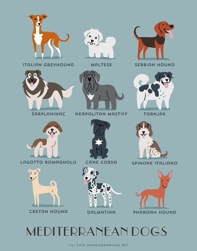 Dogs Of The World Mediterranean Breeds Dog Drawing Dog Art
