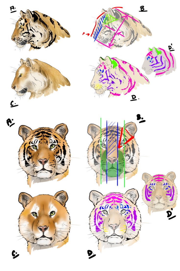 Comment Dessiner Un Tigre Comment Dessiner Un Tigre