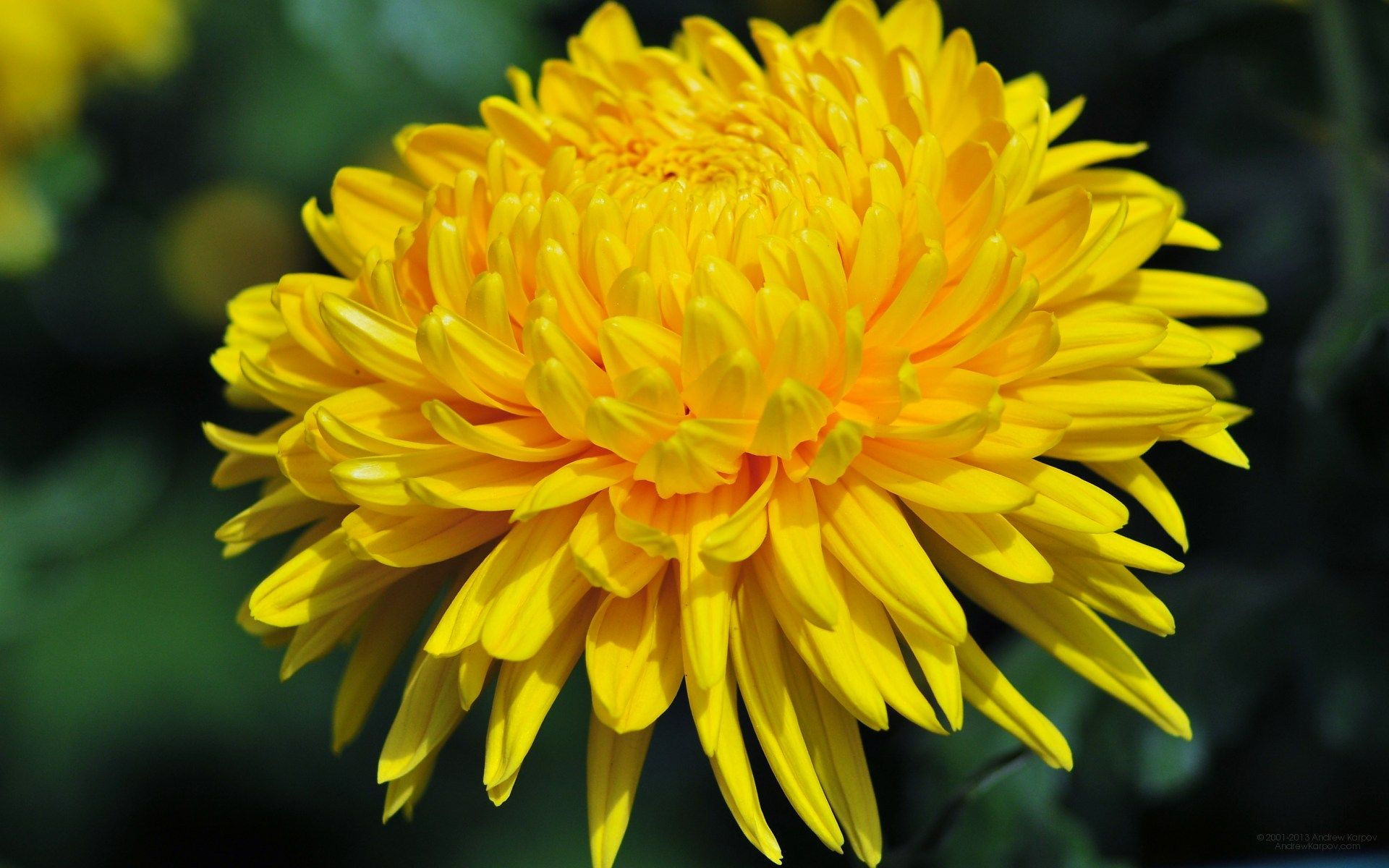 Chrysanthemum Google Search Flowers Plants And All Things