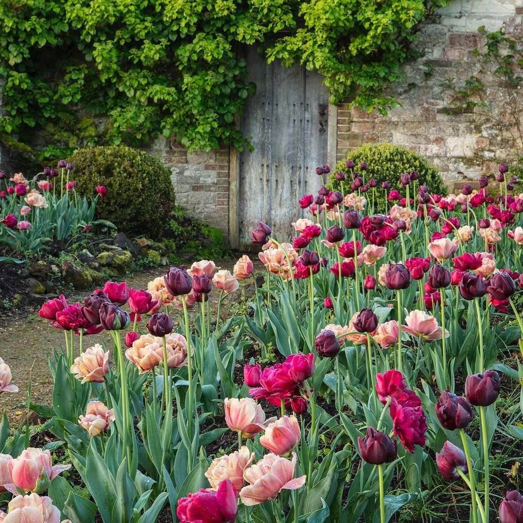 Photographer On Instagram May Flowering Tulips At Parham Park In