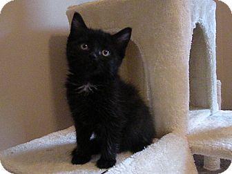 Turnersville Nj Domestic Shorthair Meet Sweetie Pie A Kitten For Adoption Http Www Adoptapet Com Pet 15545303 Turnersville New Jersey Kit Kitten Adoption