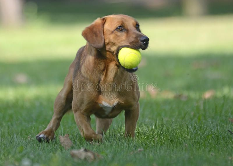 Happy Dog Playing With Ball A Brown Happy Little Dog Is Playing
