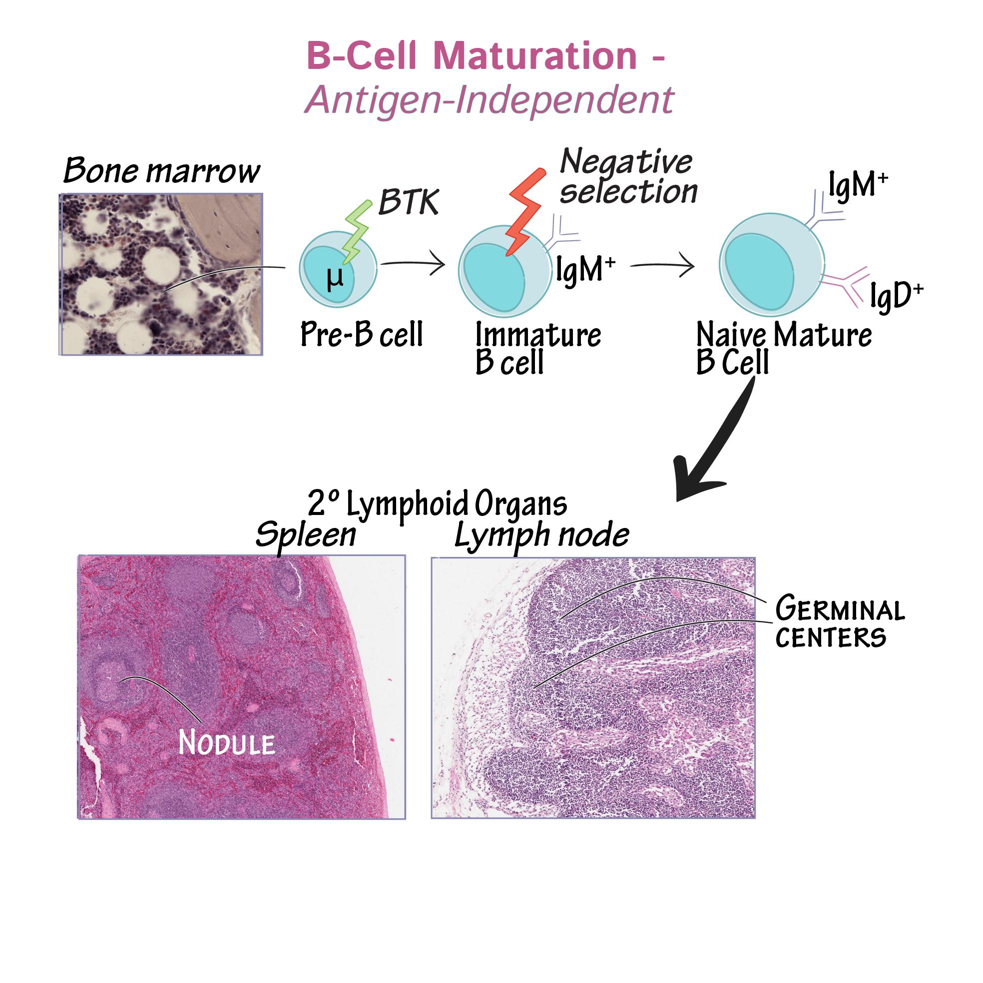 Adaptive Immunity