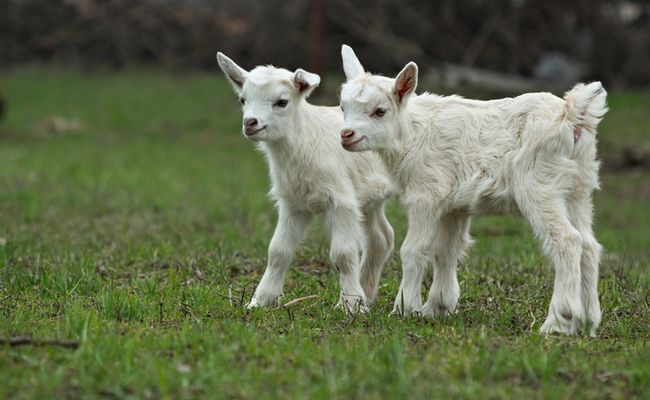 #goatvet likes this article about 10 things to consider before you decide to get some goats
