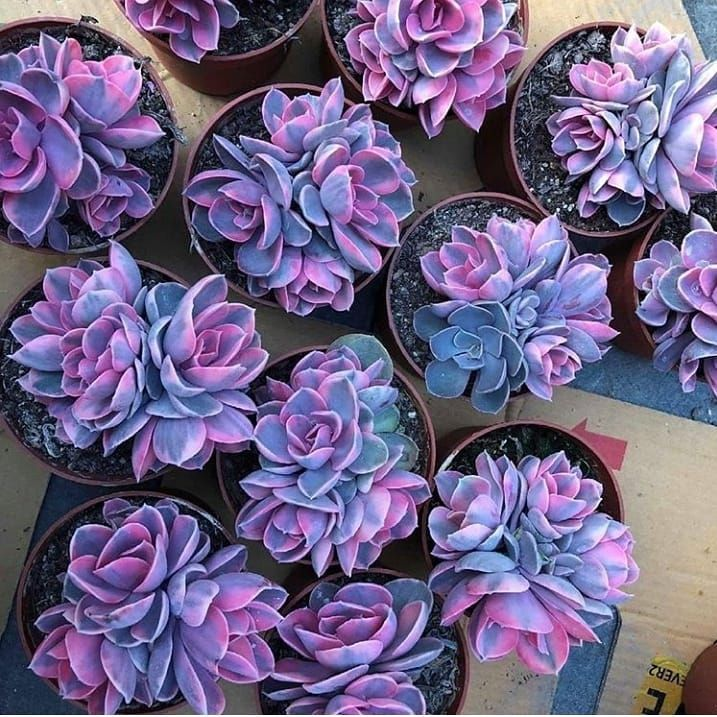 SucculentCactus lover succulentgalore  The color of these are just outta this world     PC anxiousgarden  Liketogirls