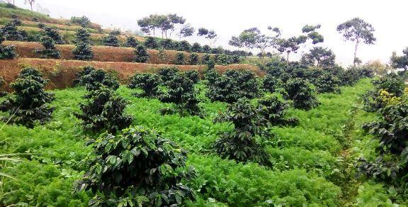 Kebun Kopi Di Riau