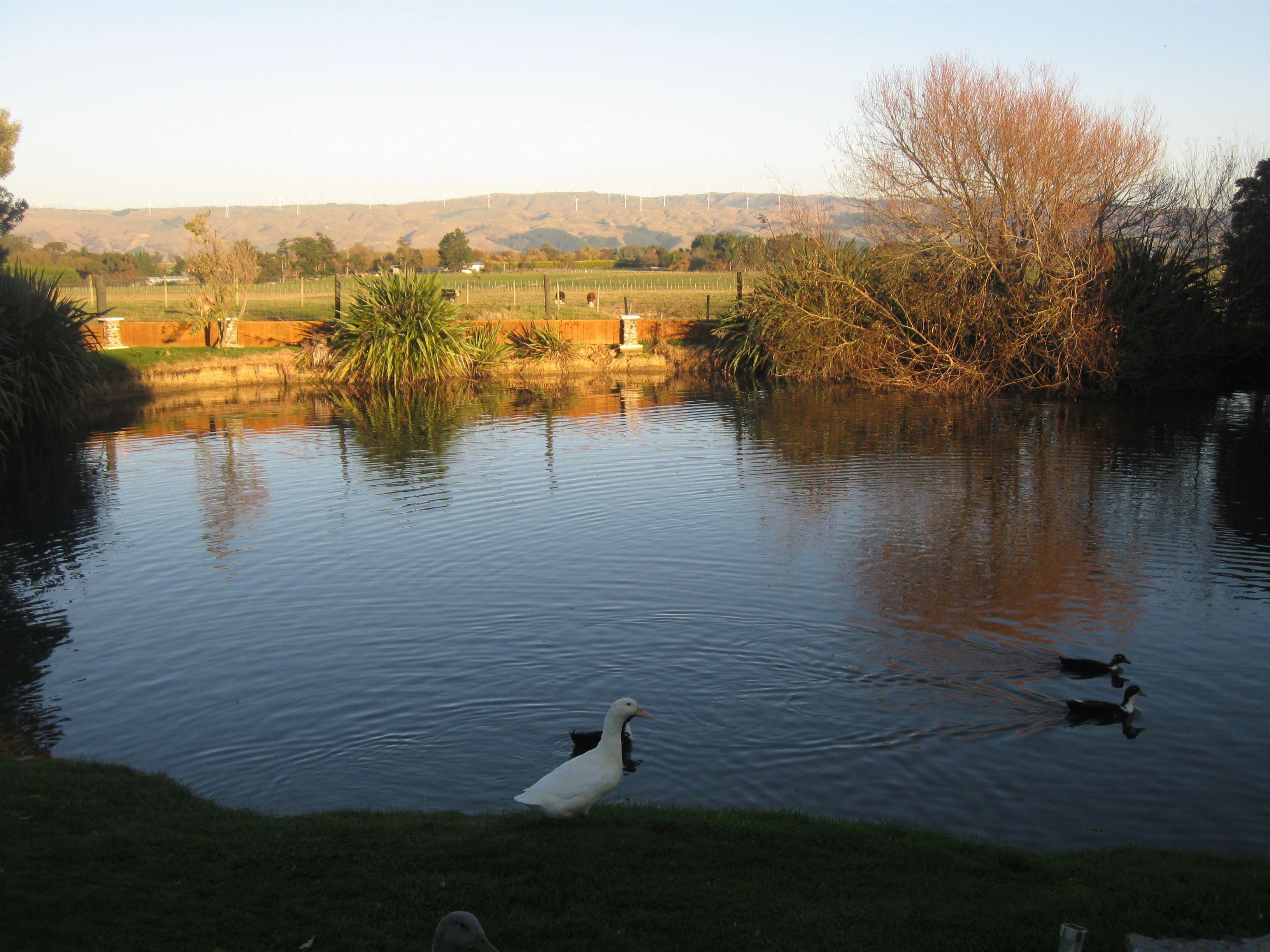 Our pond at Hiwinui, Manawatu