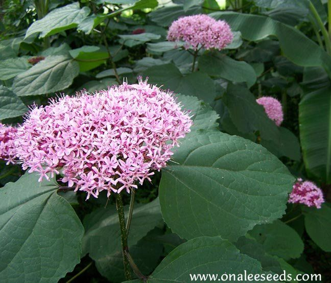 Clerodendron bungei...Cashmere Bouquet, Mexican Hydrangea--invasive ...
