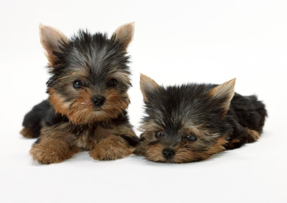 Two Puppies Of The Yorkshire Terrier Yorkie Puppy Yorkshire Terrier Dog Yorkshire Terrier