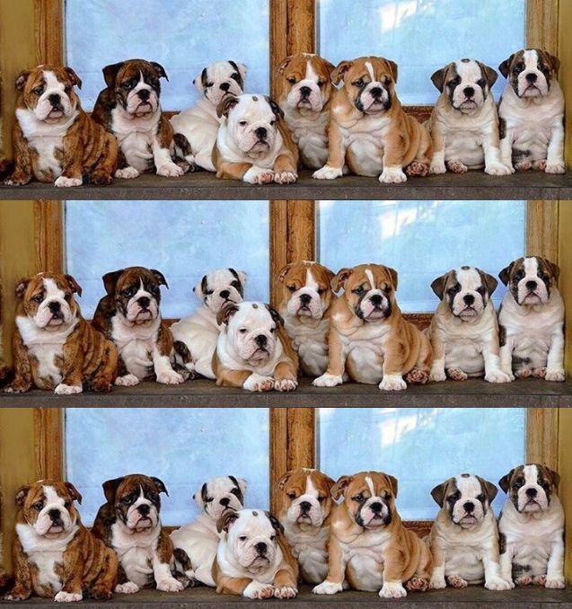 English Bulldog Puppies Bulldog Puppies English Bulldog