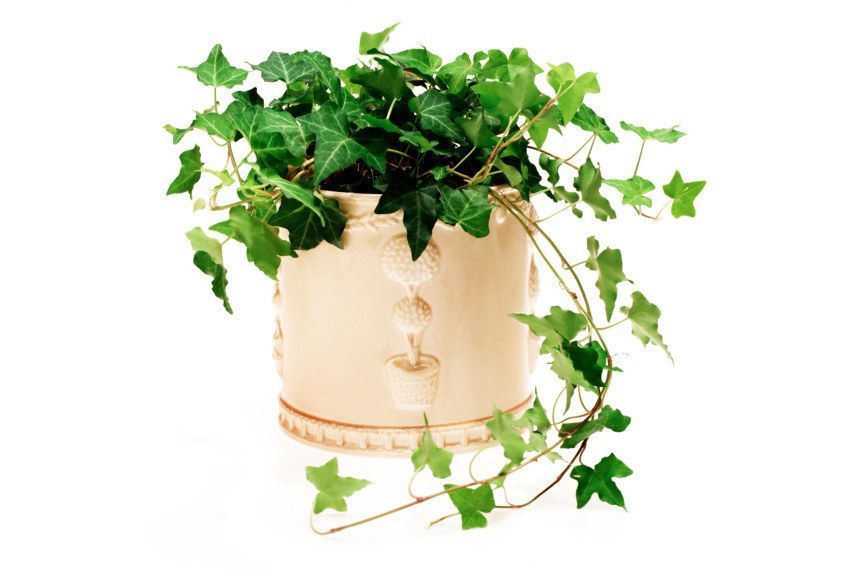 14 houseplants for people with no green thumb ivy plants