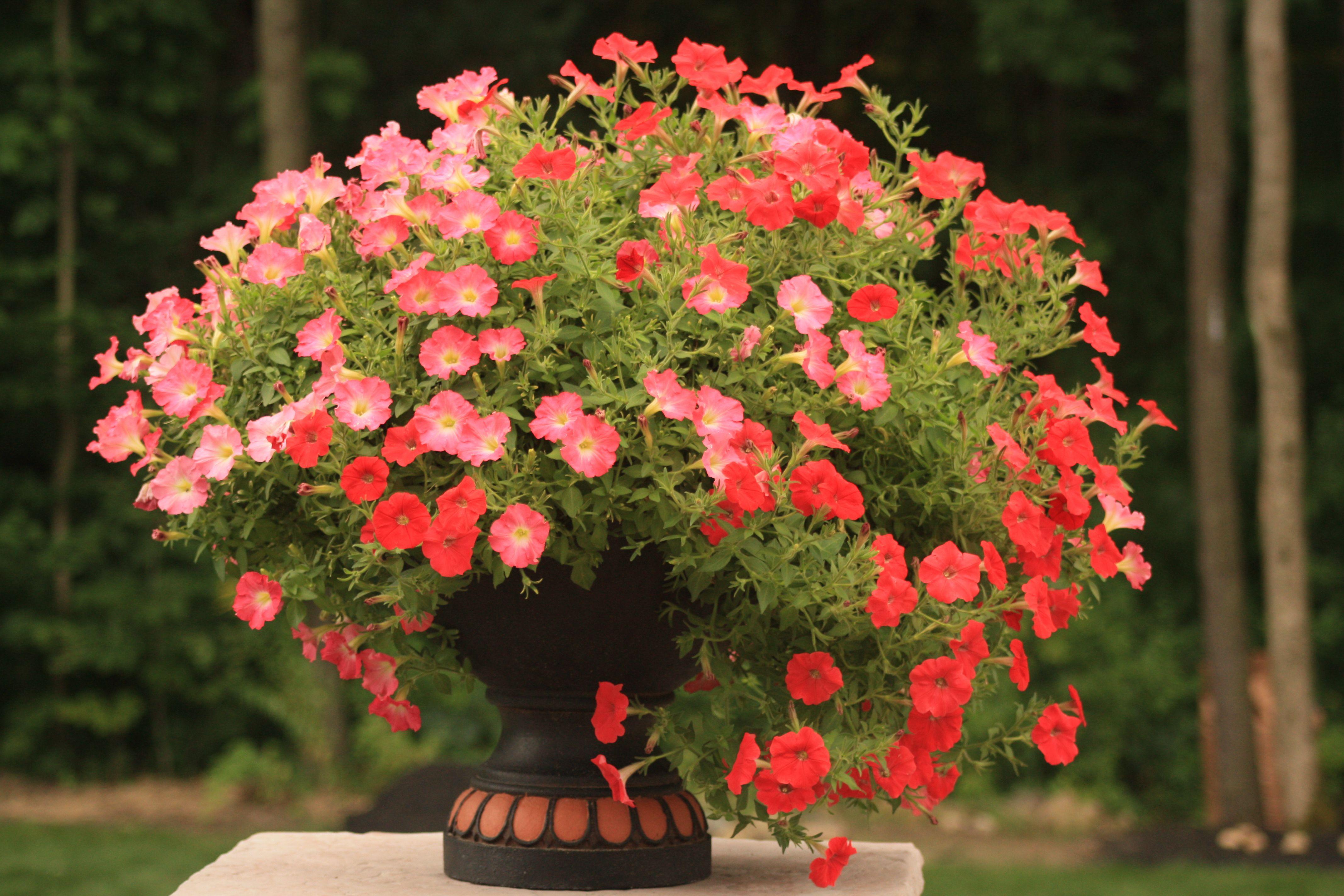 Vibrant Petunia Planter