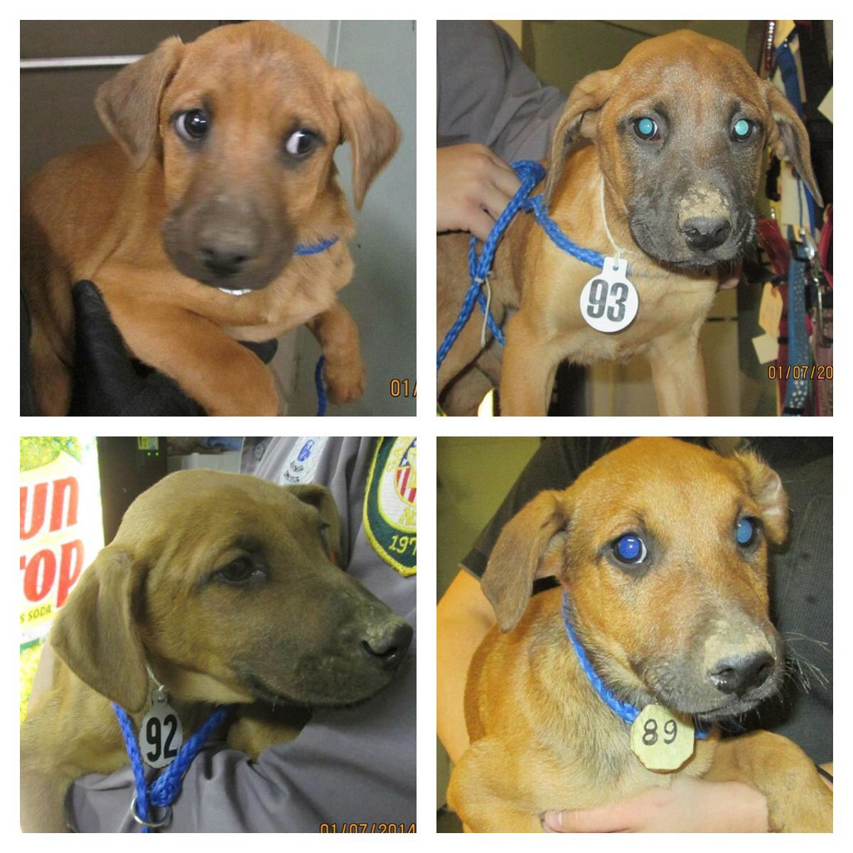 Redbone Coonhound mix pups (litter of 7) in Dallas, NC
