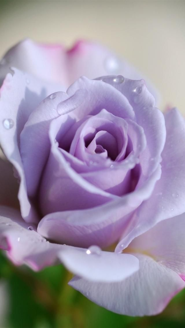 Rose In Violet Iphone 5 Wallpapers Hd 640x1136 Iphone 5 Wallpapers