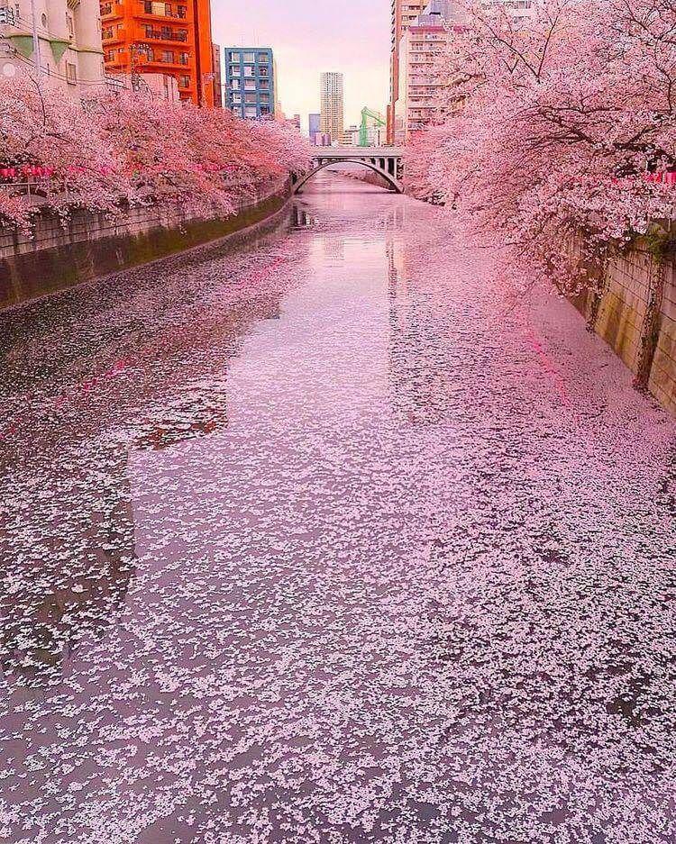 River Of Sakura Tokyo Japan Japan Photography Aesthetic Japan Landscape Photography