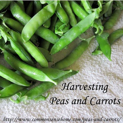 Peas and carrots, some of my favorite garden vegetables. How to freeze peas and thin carrots.