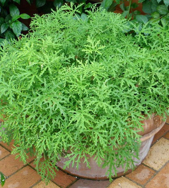 Citronella plants have a strong citrus scent and lush green foliage that make them perfect for keeping on the porch or patio in containers. Best of all, they naturally repel mosquitoes so you can enjoy your patio without needing to spray yourself with harsh chemical sprays before going outside.
