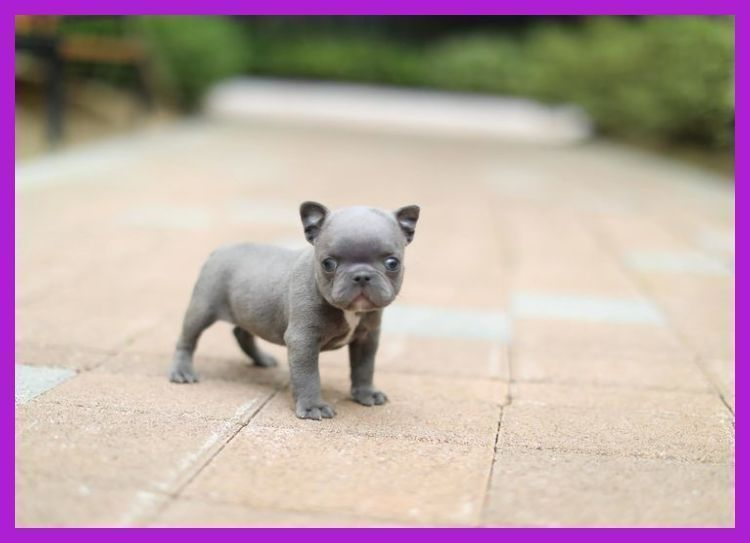 Blue chocolate lilac french bulldog english bulldog