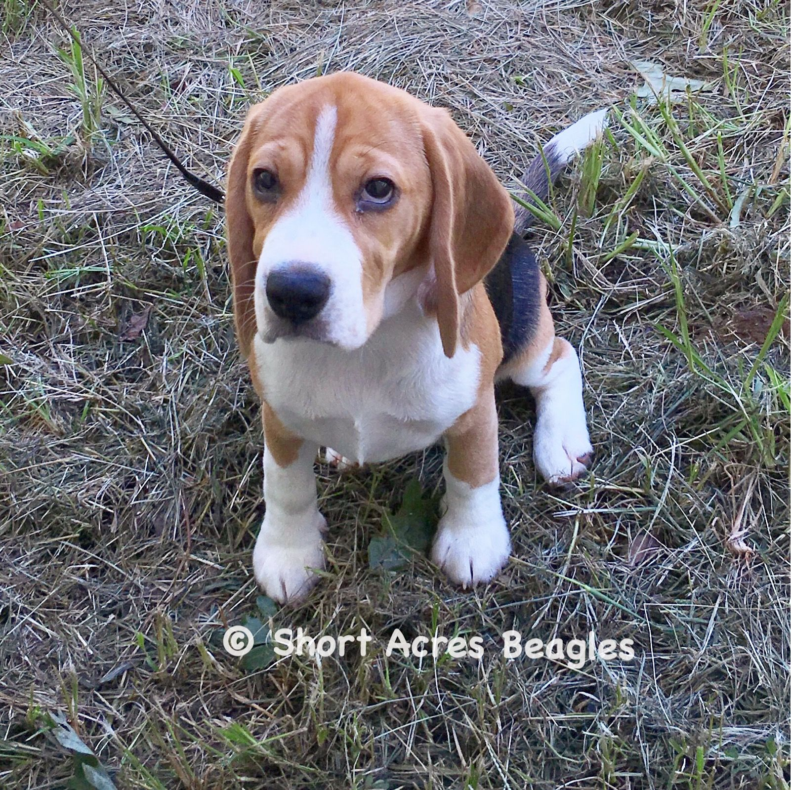 Pin By Short Acres Beagles On My Beagles Beagle Dogs Puppies