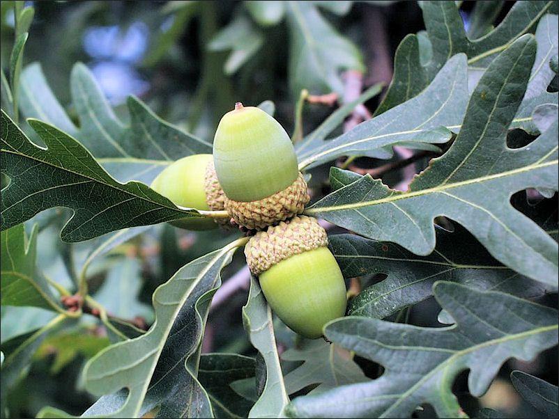 isu forestry extension tree identification white oak