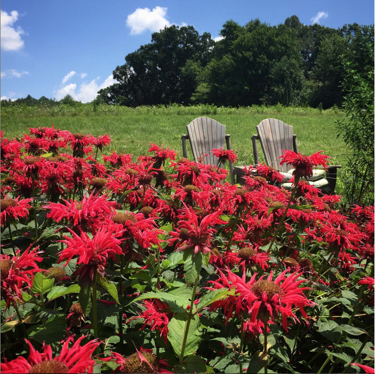 Perfect perch to watch the parade of pollinators visiting the beebalm. Hummingbird moths, bees, butterflies and hummingbirds all day long. (Monarda didyma, Lamiaceae).