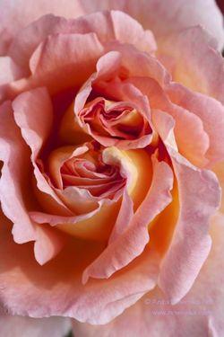 Summer Swirl Anita Nowinska http://www.nowinska.co.uk/?s=rose