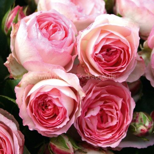 rosen online kaufen mini eden rosenpark rambler pinterest gem se rose und. Black Bedroom Furniture Sets. Home Design Ideas
