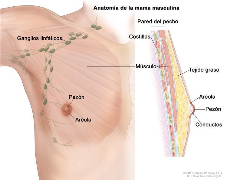 Anatomía de la mama masculina; el dibujo muestra el pezón, la aréola ...