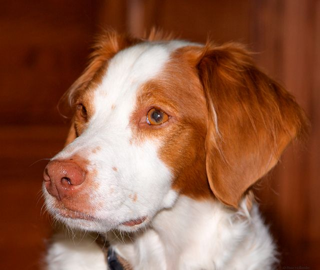 Pictures Of Brittany Dog Breed Brittany Dog Dogs Brittany Spaniel Dogs