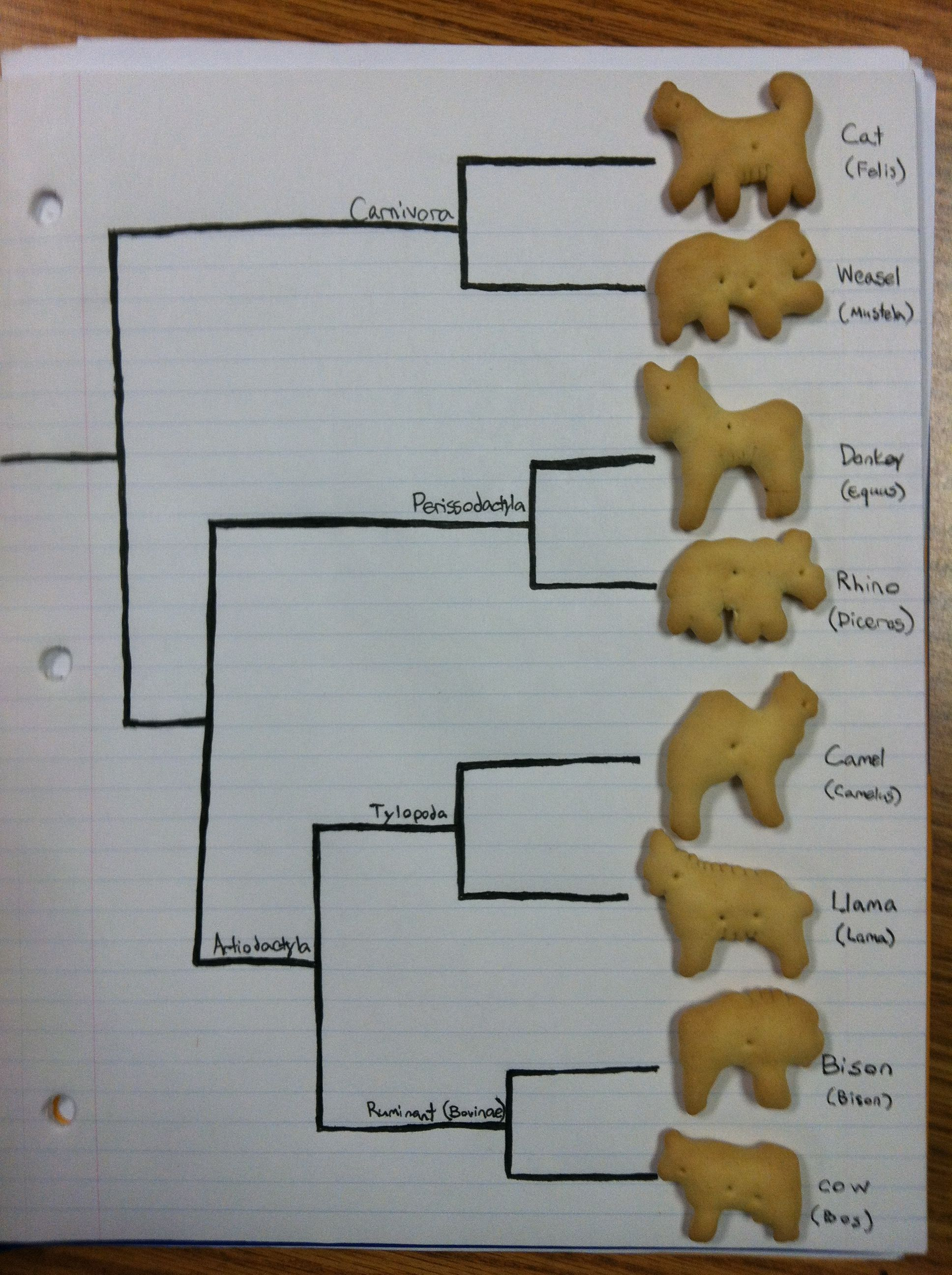 Animal Cracker Phylogeny Teks 7 11a