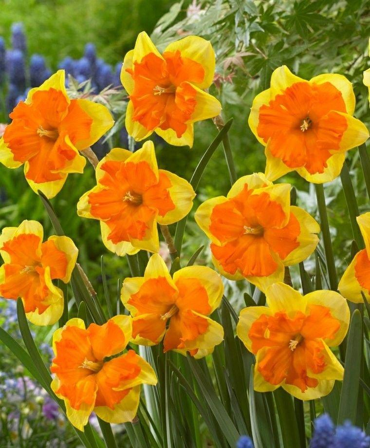 Pin On Daffodils