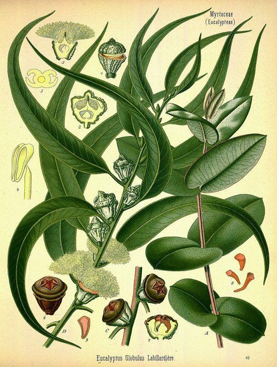 Antique french botanical print eucalyptus plant
