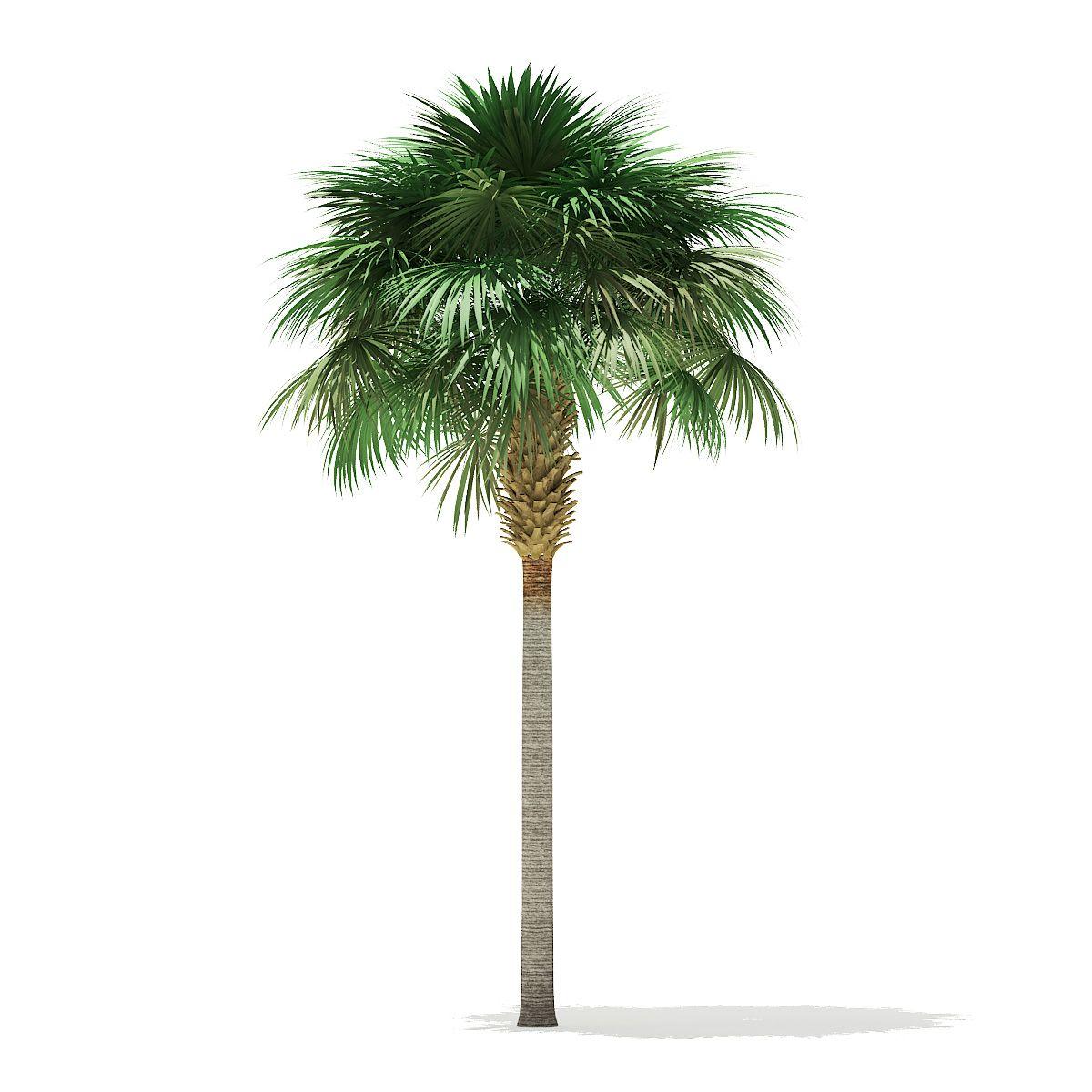 Sabal Palm Tree Palm Trees For Sale Palm Tree Vector Palm Trees