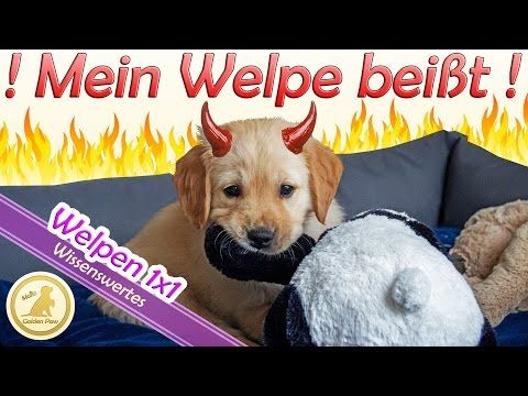 Welpe Beisst Beisshemmung Beissen Abgewohnen Welpenerziehung Welpen 1x1 Puppy Hundekanal Youtube Welpen Hunde Erziehen Welpenerziehung